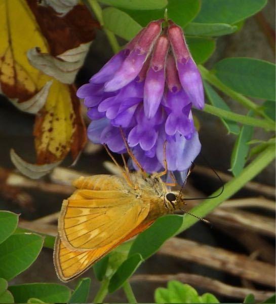 このチョウはコキマダラセセリ? 花はヒロバクサフジですか?