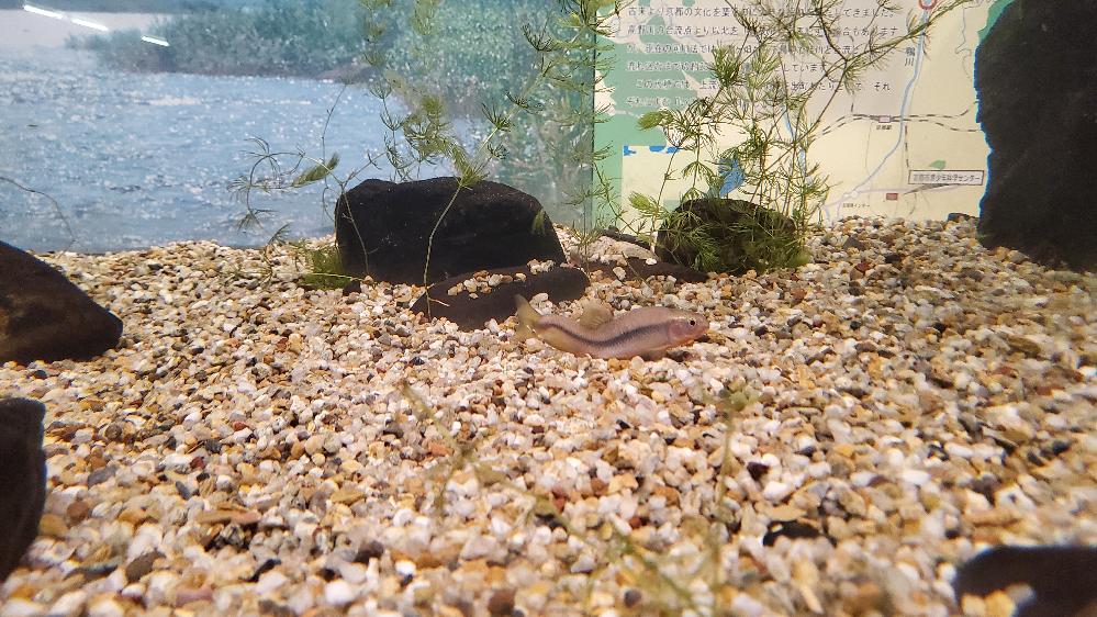 この魚の名前はなんですか? またこの魚は奇形ですか? 凄く泳ぎにくそうにしていました