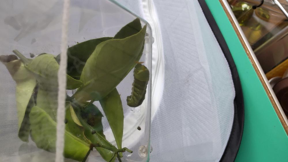 ナミアゲハの幼虫です。 2匹のうち、1匹だけが蛹になりません。 ずーっとウロウロしたかと思えば、餌を食べていました。 今日の夕方、横になって、写真のようになっています。 寄生されているかもと思い、他の子たちとは隔離しています。 このまま、蛹にならないのでしょうか?