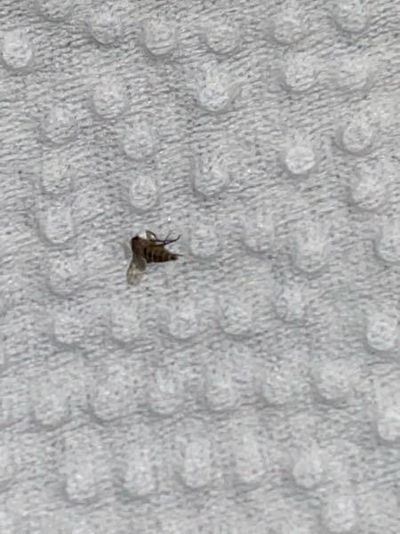 【虫の画像有り】最近コバエが飛び回っているのですが、これは何バエでしょうか?なるべくピントを合わせましたがこれが限界でした。。分かる方教えていただけると嬉しいです。