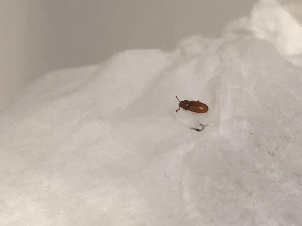 7月に新居に引っ越してから家の中で小さな茶色虫を1日10匹ほど見かけるんですがこの虫は何でしょうか?飛んだり潰そうとしても少し硬いです。