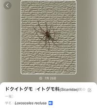 家に蜘蛛が出ました。 アプリで画像検索したところドクイトグモとでました。 本当にドクイトグモなのでしょうか。