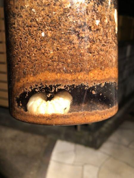 オオクワガタ 幼虫について オオクワガタを飼育しています。 昨年羽化した個体をペアリングし、メスを2021年3月に産卵セットに投入しました。 同年4月に割り出しを行い、採れた幼虫は菌糸瓶に投入しました。 7月末の現在、菌糸ビンを確認してみると何匹かのオオクワガタの幼虫が蛹室の様なものを作っております。明らかに蛹室で、とても驚いています。 何度か確認していると、ストレスを感じたのか蛹室を壊して移動している個体もいましたが、前蛹状態になりつつある個体もいます。 オオクワガタで幼虫期間が半年以下(3ヶ月程度)で羽化する事例はあるのでしょうか。 インターネットでは該当するような記事やサイトがなく、どなたか経験のある方にご教授願いたいです。 蛹室を作っているどの個体も3令幼虫です。 飼育温度は常温(30度以上)であるため、管理温度が高過ぎたのかと思いますが、越冬をしない事などあるのでしょうか。 宜しくお願い致します。