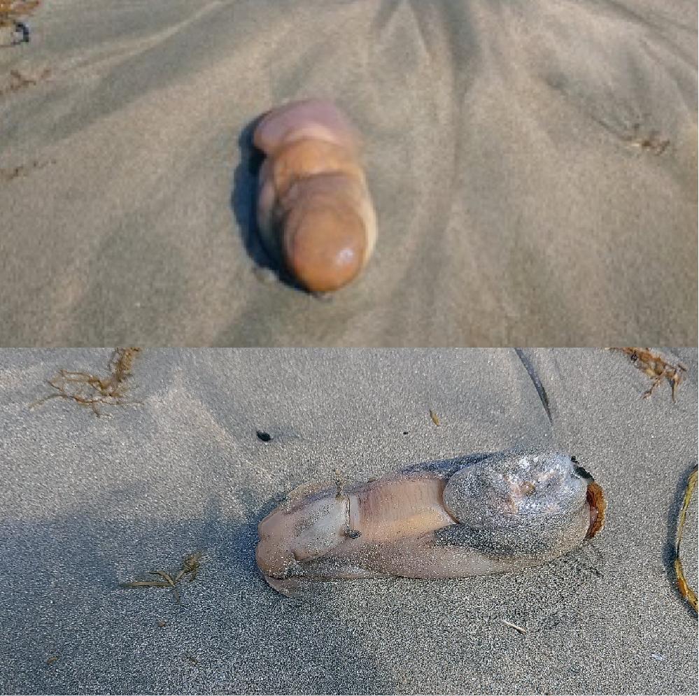 知り合いが浜辺で発見しました。 波で浜辺に打ち上げられてきたそうです。 ミル貝か、ツノがあるのでウミウシの類いか。 分かる方いましたら教えてください。