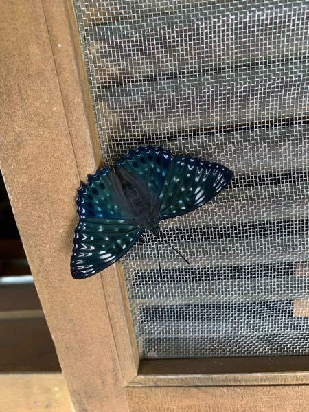 これはなんという名前の蛾でしょうか? 羽の後ろの方が青くてとても綺麗でした!