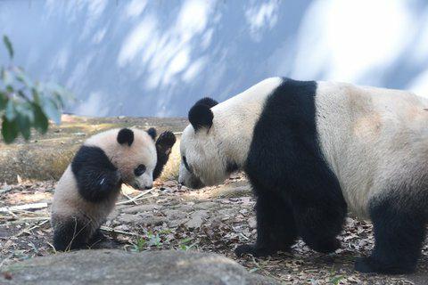 パンダは名前に熊が入ってるし、鮭好きな熊と同じように焼き鮭でも与えてやりぁ、食らい付いて来るかな?(´Д`)