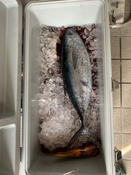 数年前に釣ったマグロですが、これはヨコワマグロorコシナガマグロどちらでしょうか?