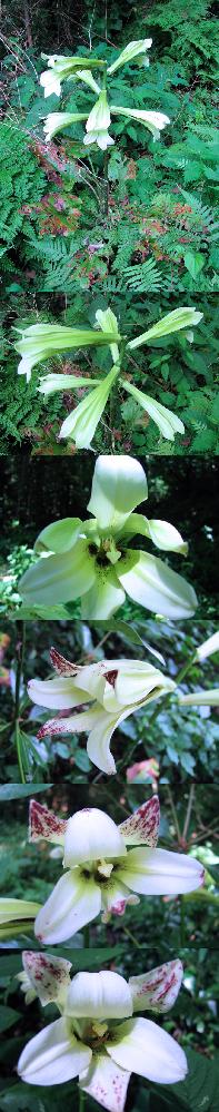 7月の標高300m~400mくらいの低山にあった植物です。 日影にまとまってありました。地面から1本伸びた幹に、 ユリのような花が何輪かついています。 何という名前の植物でしょうか??