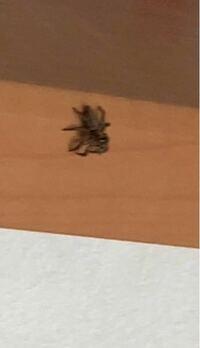 蜘蛛が家に出たんですけどこいつの名前と人間に害がある蜘蛛なのか分かる方いらっしゃいますか
