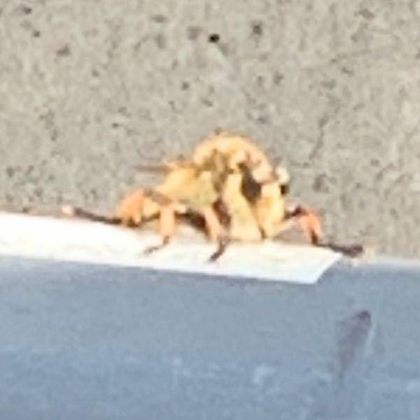 ベランダに写真の虫が居たのですが何と言う名前の虫ですか? 蜂かと思ったのですが口元に針がある様に見えました。