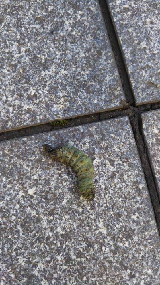 この毛虫を教えてくださいm(__)m! オオムラサキ!?か、スカシカギバ? これは蝶になる?蛾? おなかが、ピンクで、クネクネしてました。 宜しくお願い致します。