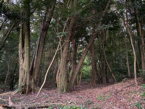 この木々はクヌギ、コナラの雑木林ですか?