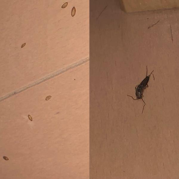 これはゴキブリの卵ななんかなのでしょうか?(左の写真)もえるごみの袋の下にたくさんあったのですが、、、 1週間ほど前に見つけたので、見える限り潰して、ゴキブリのブラックキャップを置いたのですが 今日見てみるとまたたくさんありました。 また、右の写真の虫が近くにいたのですが関係あるのでしょうか?? 回答よろしくお願いします。。