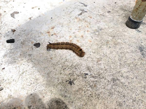 これはタケカレハの幼虫でしょうか? 5cm程ありました。