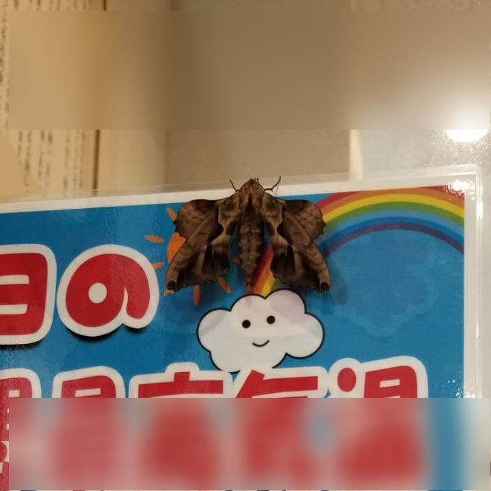 これはなんという蛾でしょうか? 10cmくらいはあると思います。