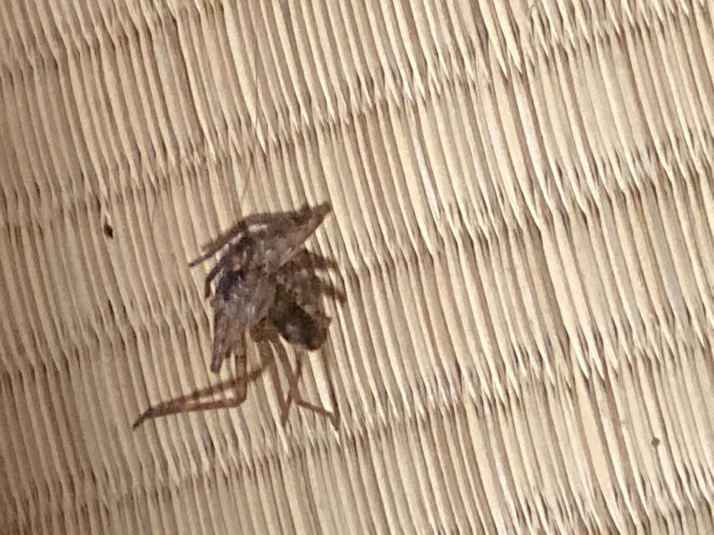 蜘蛛が益虫ってことは知ってるのですがすこしサイズが大きかったので56してしまいました。 その56してしまった蜘蛛の写真が下のやつなのですが蜘蛛の種類など分かりますか?
