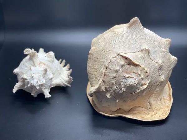 この貝殻の種類はなにですか?