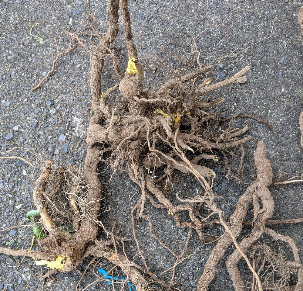 自宅の花壇を掃除したら、まるで切株のような太い茎と無数の根を張る植物が埋まっていました。茎の中は黄色く、地上部は刈り取った後だったのでよくわかりません。 何という植物なのでしょうか。