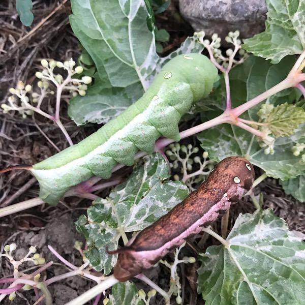 この幼虫の名前を教えてください。 また、この2匹は同じ種類でしょうか?