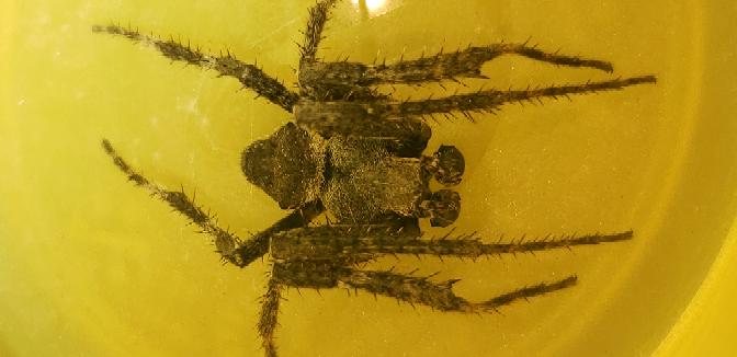 この蜘蛛の名前を教えてください! 家の中で遭遇し、調べてみたのですが名前がわからず、、、前方に2つ、丸く短い前足のようなものがあります。