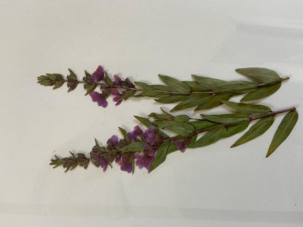 子供の自由研究で押し花をしていますが、この草(花)の名前が分かりません。分かる方いらっしゃいましたらお願いします。花は紫色です。