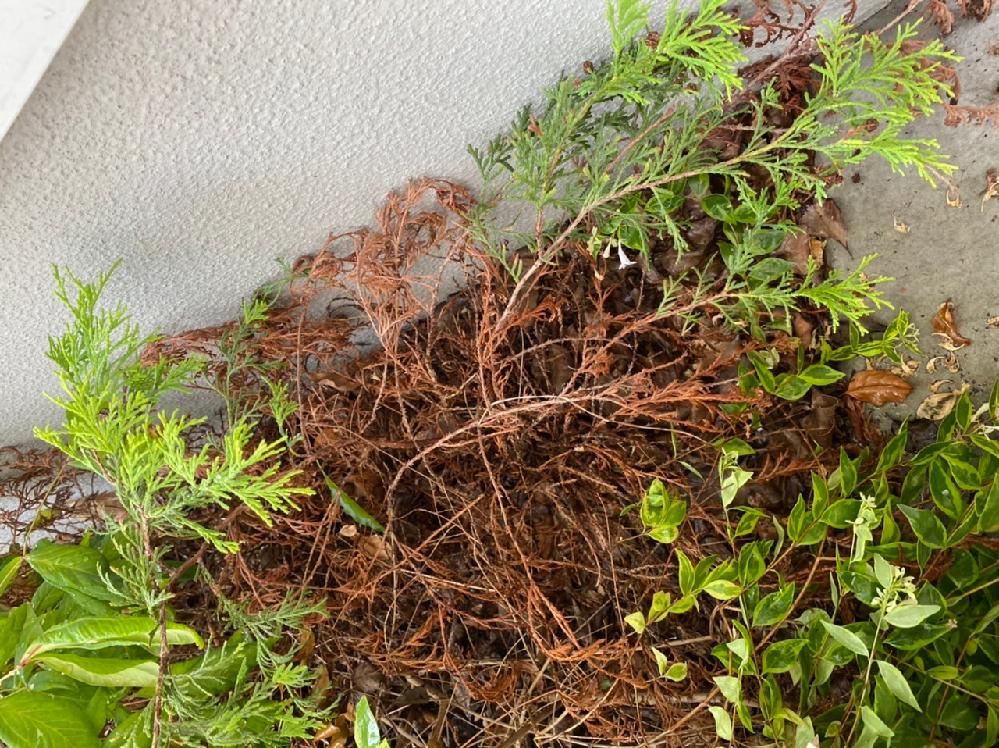 この植物はもう抜いたほうが良いでしょうか。 先の方だけ緑になり元の方は茶色になってます。 復活させる方法はありますか?あれば方法を教えてください。 素人なのですみません。