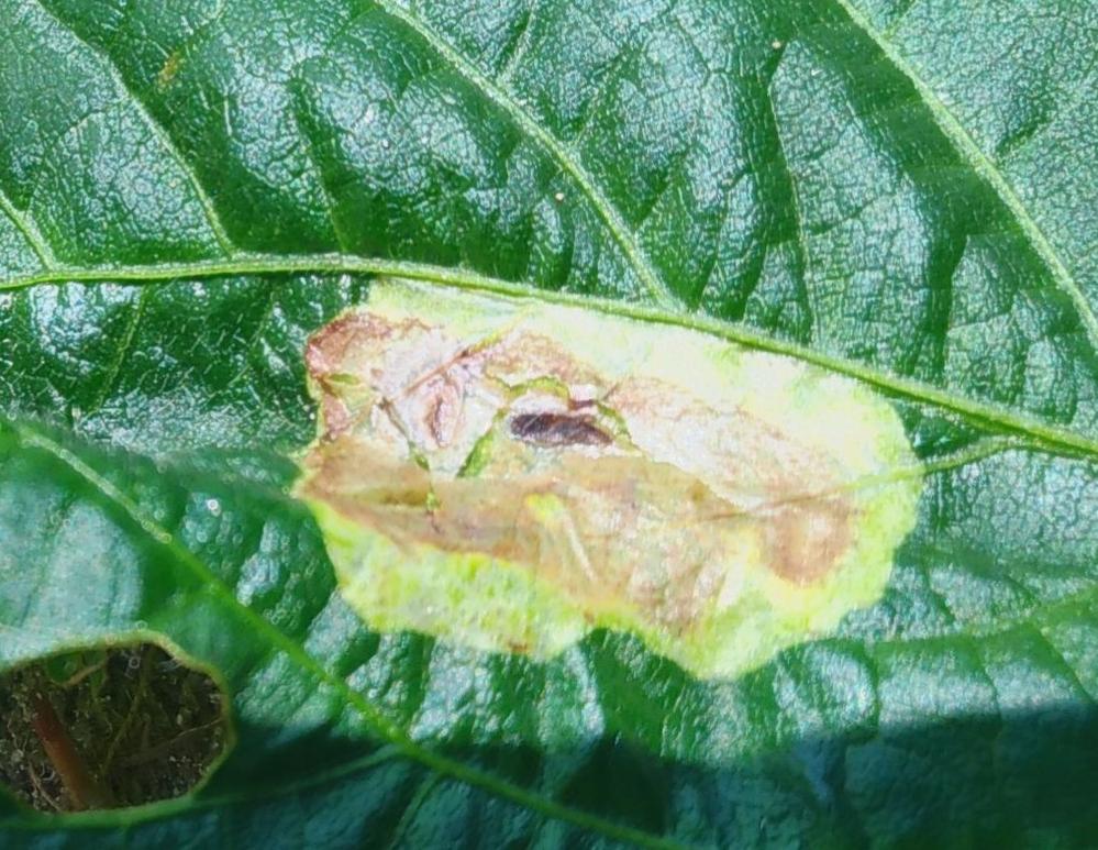 エダマメの葉にいた、卵なのかサナギなのかわかりませんが、これは害虫でしょうか? 画像の茶色いところは蝋燭のような触感です。