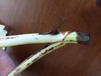 モンステラについて質問おねがいします。 一週間ほど前に水差しに挑戦しました。 しかし、気根のところが昨日からぶよぶよで、むけてしまいました。中から硬い黒い根?のようなものがでています。 茎は黒くなっているところがあったので、黒い部分をカットしましたが、今日もまた茎が黒くなっていました。 このまま水差しを続けて大丈夫なのでしょうか? 根がでるのか心配です。