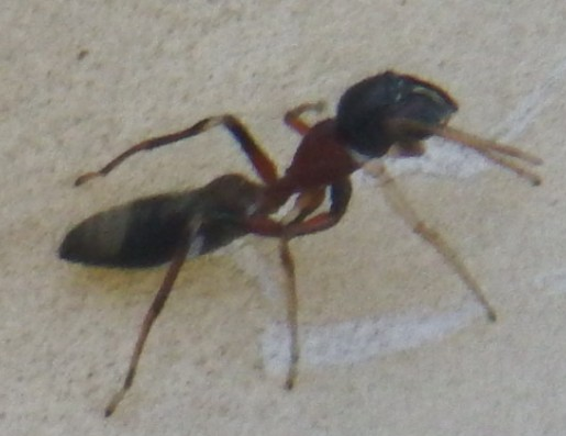 普段見ない蟻らしきものが居ました。 画像検索したら蜘蛛ばかりヒットするので、蟻なのか蜘蛛なのかも分かりません。 名前を教えてください。