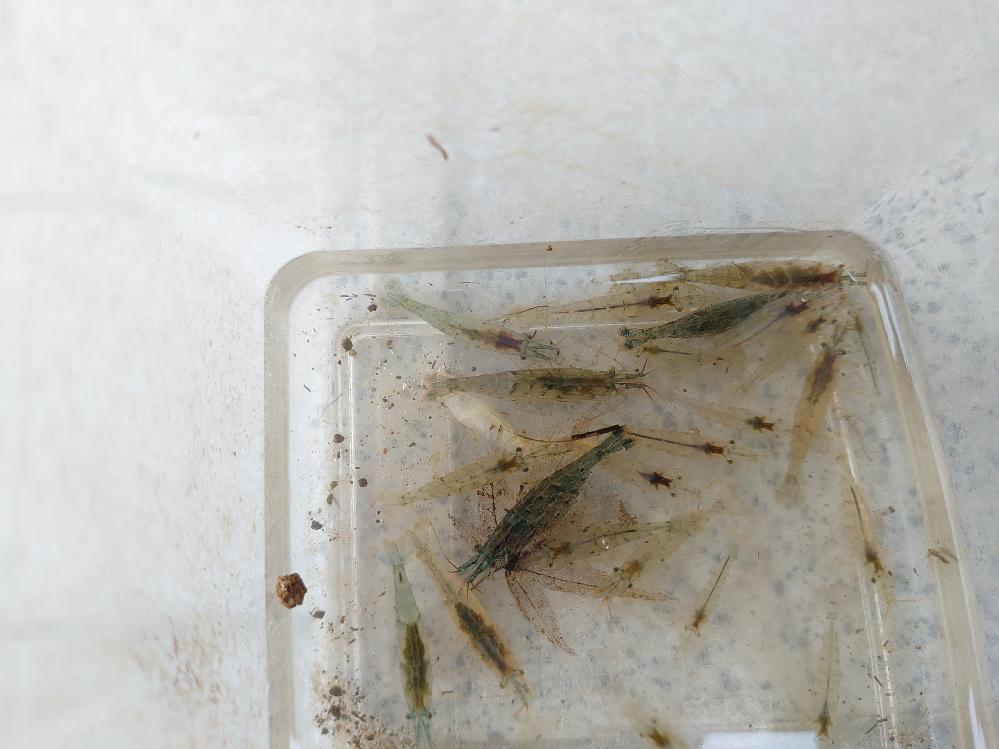 このエビの種類を教えてください!!! 宮城県で採取しました。