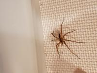 家の中に少し大きめのこんな蜘蛛さんがいました。 大きめの蜘蛛は益虫の可能性があると退治しなかったのですがこの子はどんな種類の蜘蛛でしょうか?