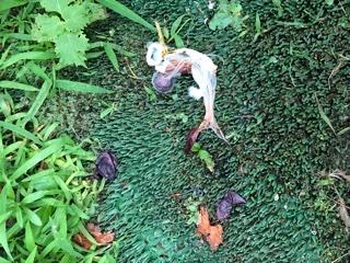ぶどうの食害についてお聞きします。庭に植えた巨峰が今年初めて実を付け、そろそろ収穫出来そうだな、と楽しみにしていた矢先、昨日一昨日と何者かに食べられた跡がありました。 昨日の夕方気づいた時にネットなどがなかったため排水口用のストッキングネットを被せました(まだ酸っぱかったので収穫はもうしばらく待つことに) 夜になり外に出て見てみたところ房自体がなく、暗くてよく見えなかったため今朝見てみると写真のような状態に… これが人間の仕業だとしたら相当な人かと思うし、怖くてネットで色々検索してみたところ残骸がハクビシンの食べ方にそっくりかと?? 同じような被害に遭われた事がある方、分かられる方がいらっしゃったら教えていただきたいです。 ちなみに自宅は街中の住宅街で少し離れれば田んぼはあります、草が生い茂っている空き地もあまりありません。庭では家庭菜園程度にトマトやキュウリ、唐辛子や茗荷を栽培していますがそれらには害が遭ったときはありません。フン等も見つけた事はないのですが…