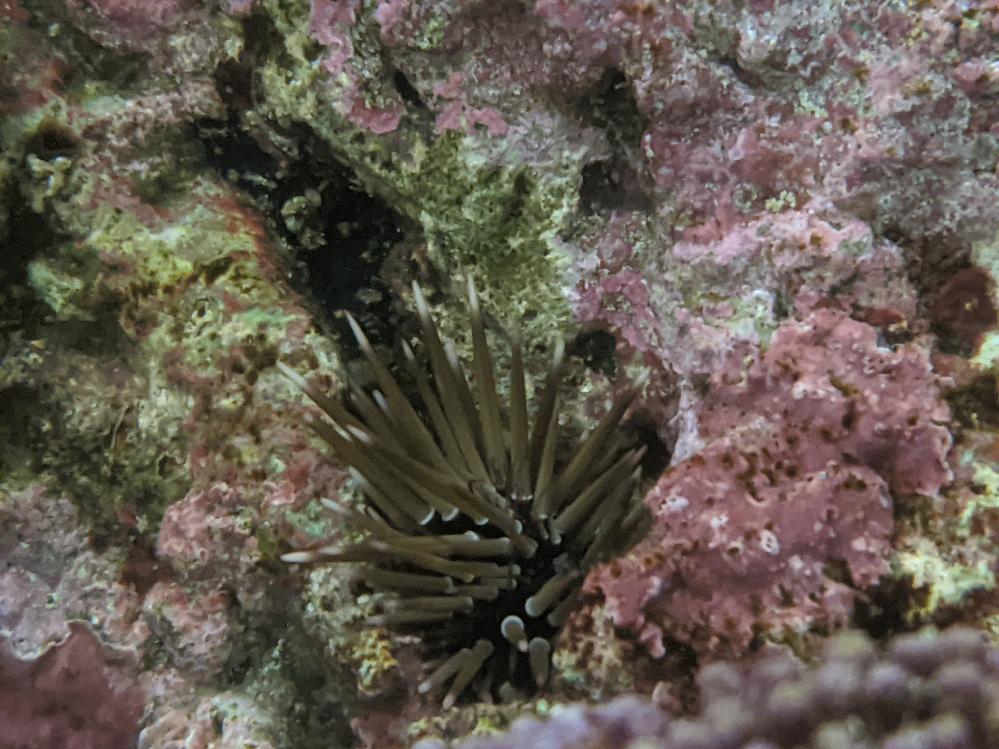 自宅の海水水槽のライブロックにウニのようなものがいました。サンゴや海水魚もいますが取り除いたほうがいいのでしょうか?