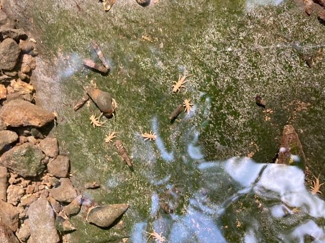 この写真の黄色っぽいのはヤゴかなと思うのですが、何のヤゴか分かる方いらっしゃいますか?川?用水路? にいました。今日撮った写真です。近くから撮ったので、大きく見えるかもしれませんが、わりと小さかったです。宜しくお願いします。