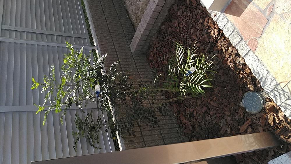 購入した家の玄関先のところにシマトネリコとマホニアコンフューサが植わっています。 調べたらシマトネリコはほっといたら成長も早いし10メートル近くなるとありました。 他の方のを見たら大きめの鉢に移...