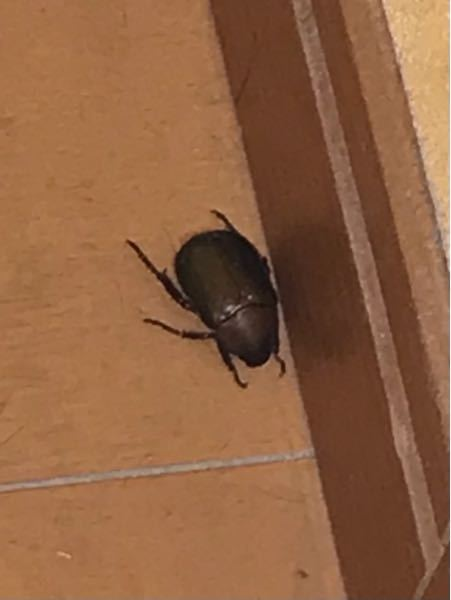 これは何の虫でしょうか? 家の中にいました。 ゴキブリなのかカナブンなのかわからず困っています。 よろしくお願いいたします。