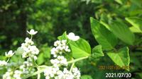 ノリウツギの葉っぱですか? 不安ですので宜しくお願いします、 岐阜県米田白山で、 撮影20210730