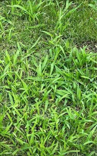 芝生の中にこの雑草がたくさん! 退治する方法はありますか? 芝生の張り替えでしょうか? よろしくお願いします。