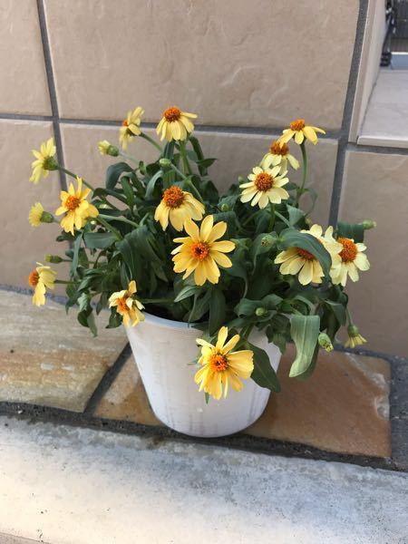ガーデニング初心者です。 切り戻してから3週間、ジニアが突然元気がなくなりました。 今朝まで綺麗に咲いていたのに、葉までしおしおです。 西日は当たらず、風通しも良いです。 何が原因でしょうか。 水分不足でしょうか。 よろしくお願い致します。