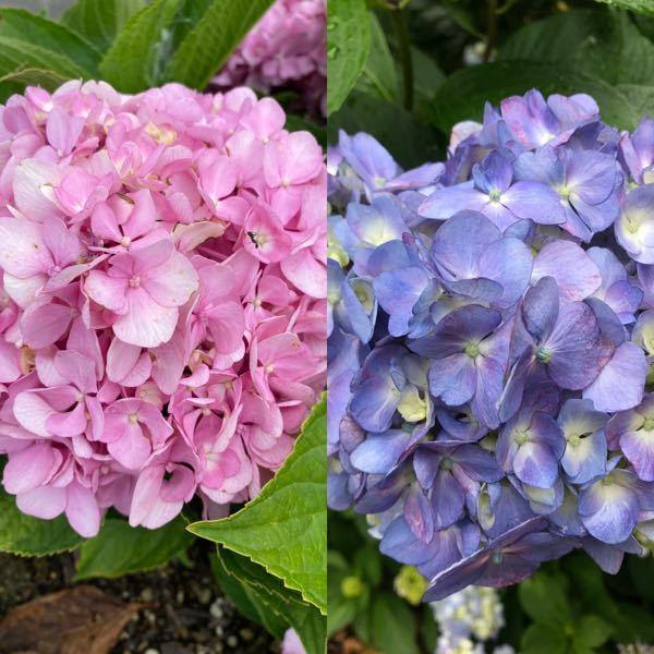 アジサイに詳しい方にお聞きします。 画像のアジサイは同じ物ですか? 一昨年、何種類かのアジサイを貰って来て挿し芽して、今年花が咲いたのですが、どれとどれが親子なのか忘れてしまいました。 画像のアジサイは 青いのが綺麗だったので貰って来たのですがウチではピンクになりました。 これはこれで綺麗ですが、同じ花ですよね?