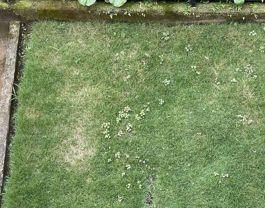 芝生初心者です。 今年の春に張ったTM9ですが6月まで青々としていたのですが7月に入って部分的に茶色くなってきました。除草をして適度に水は撒いていますがその他のことはしていません。何かすること(例えば肥料をやるとか)で青々とした芝生を維持することができるのでしょうか?それとも季節的に自然な変化なのでしょうか? アドバイスお願いします。