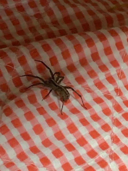 このクモが家に出ました。何者ですか?