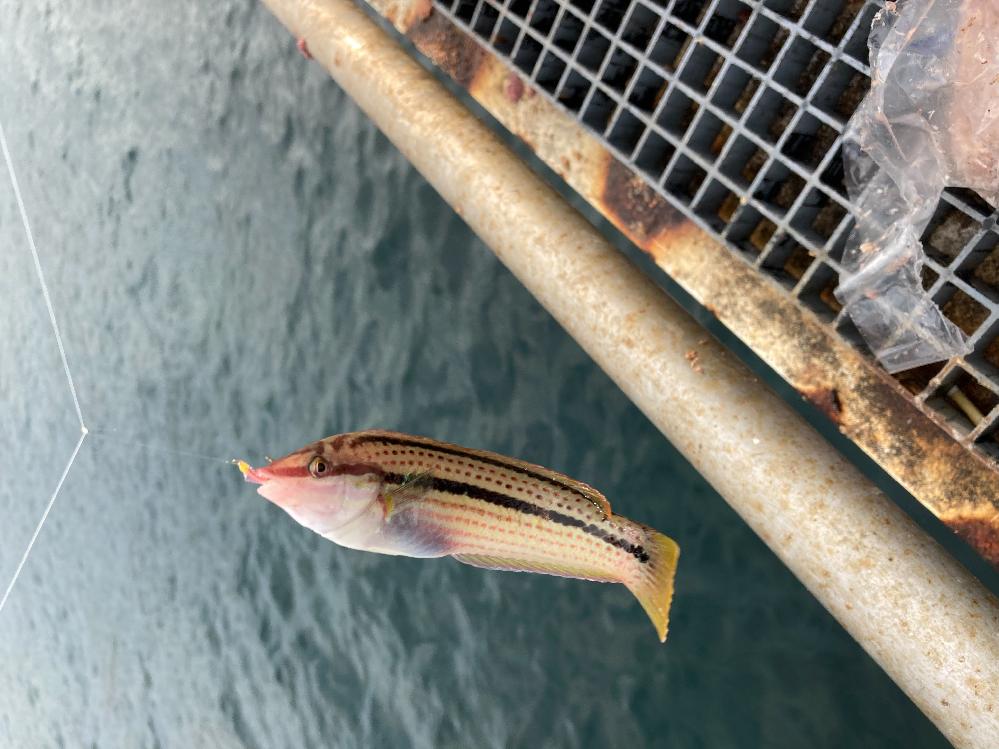 サビキ釣りで釣れました。 この魚は何という魚ですか?