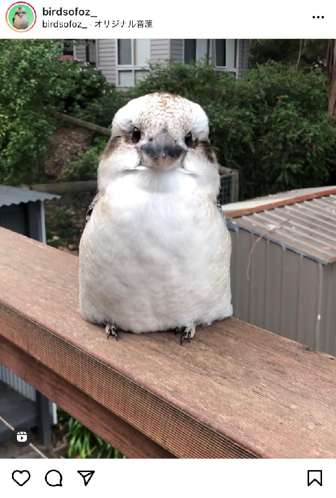 鳥の名前 こちらの鳥は何という鳥でしょうか? Instagramで見つけて、凄く可愛いなと思いましたが、初めて見る鳥です。 ご存知の方、教えて頂きたいです!