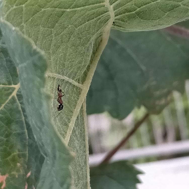 何という名前の虫でしょうか? 害は無いでしょうか? シャインマスカットを鉢で育てていますが、写真の虫が数匹葉にいます。 蟻のように見えますが、一部赤いです。 放置しても問題ないでしょうか?