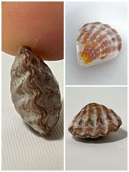 不思議な貝を見つけました。これは、どういう状況の貝なのでしょうか?死んで入ると思うのですが、2枚ともピッタリくっついています。勿体なくて開けては無いです。 これは珍しいんでしょうか?