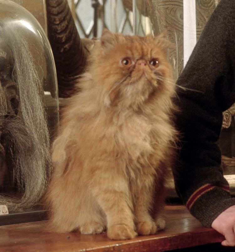 映画『ハリー・ポッター』でクルックシャンクス役として出演してたこの猫ちゃんの種類を教えていただきたいです。(魔法界での話ではなく…)