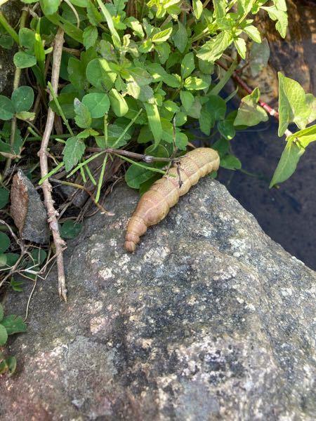 川辺で見つけたのですが、この虫は何かご存知の方、いらっしゃいましたら教えてください。