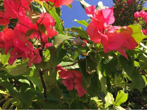 この花は何ていう名前ですか? 沖縄にありました。