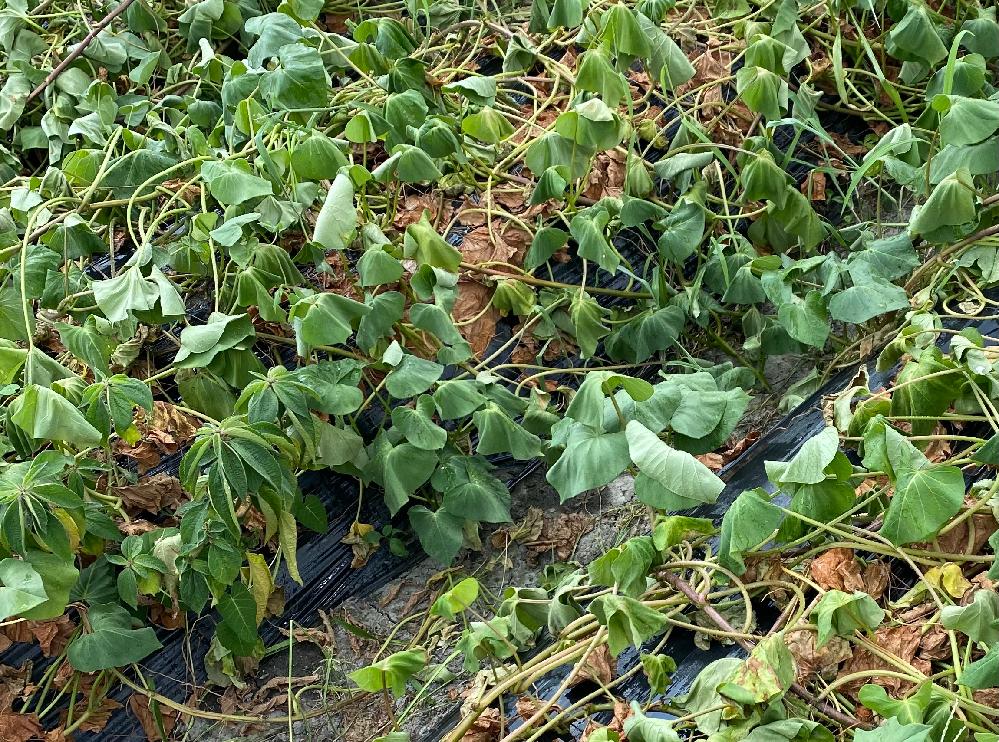さつまいもの葉っぱが茶色く枯れてきたのですが、暑さからでしょうか? 水やりは晴天続きの時はしています。
